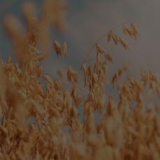 Sonstige Getreidesorten Reyle